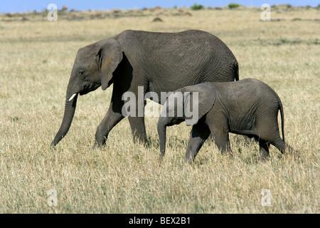 L'éléphant d'Afrique avec les jeunes - Masai Mara National Reserve, Kenya Banque D'Images