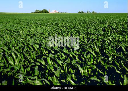 Le milieu de la croissance, l'étape de pré tassel avec un champ de maïs-grain grange rouge et silo en arrière-plan Banque D'Images
