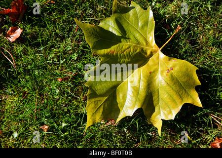 Seul arbre Plan de Londres (Platanus x hispanica) feuille Banque D'Images