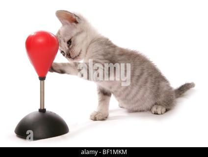 Sac de boxe avec chaton studio portrait Banque D'Images