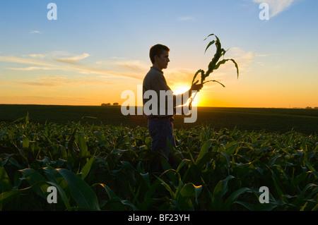 Agriculture - un jeune agriculteur inspecte une croissance moyenne dans le domaine des plantes de maïs au coucher Banque D'Images