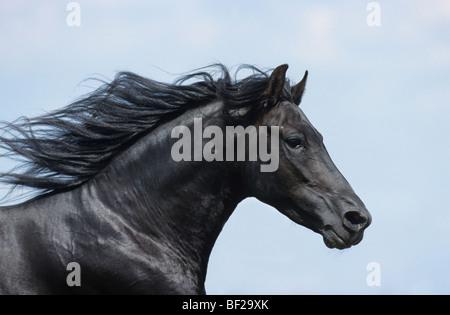 Paso Fino (Equus caballus). Portrait d'un étalon. Banque D'Images