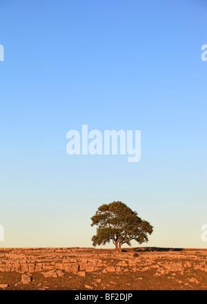 Arbre solitaire sur le lapiez à Malham, Yorkshire en soirée d'or du soleil. Banque D'Images