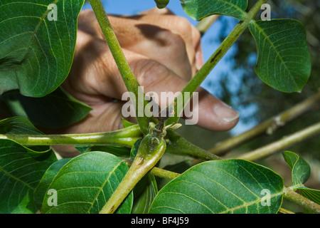 Agriculture - noix immatures morts causés par un gel de printemps inhabituel / près de Dairyville, California, USA.