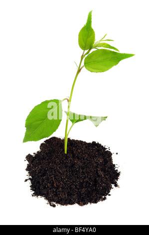 Petite plante verte avec de la terre on white Banque D'Images