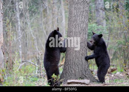 Ours noir (Ursus americanus). Deux 1 ans et demi a l'intention de grimper à un arbre pour être sécurisé.