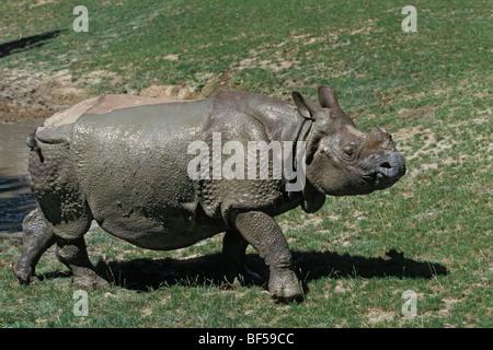 Rhinocéros unicorne de l'Inde (Rhinoceros unicornis) après la prise de boue, captive, Inde