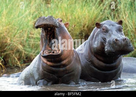 Hippopotame (Hippopotamus amphibius), Tanzanie, Afrique de l'Est Banque D'Images