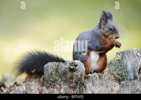 L'écureuil roux (Sciurus vulgaris), la phase noire adultes, Suisse, Europe