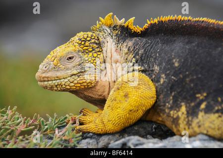 Iguane terrestre des Galapagos (Conolophus subcristatus), adulte, Plaza Sur Island, îles Galapagos, Equateur, Amérique du Sud