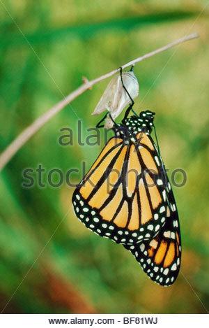 Papillon monarque holding sur chrysalis shell, Danaus plexippus, Mexique Banque D'Images
