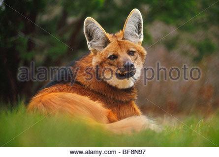 Le loup à crinière Chrysocyon brachyurus, Pantanal, Banque D'Images