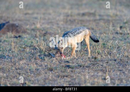 Le Chacal à dos noir, Canis mesomelas, se nourrissant de la Gazelle de Thomson carcasse. Le Masai Mara National Banque D'Images