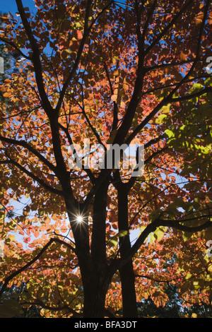 Cornouiller à fleurs (Cornus florida), le soleil brille à travers les feuilles d'automne, Haw River State Park, Banque D'Images