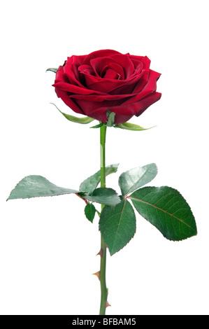 Rose rouge isolé sur fond blanc Banque D'Images
