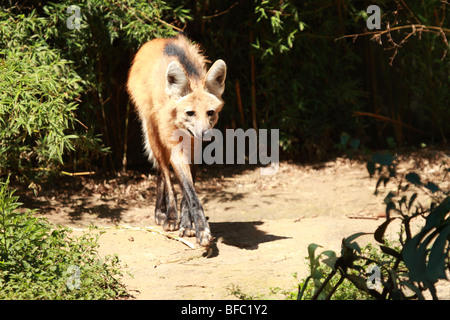 Le loup à crinière Chrysocyon brachyurus Banque D'Images