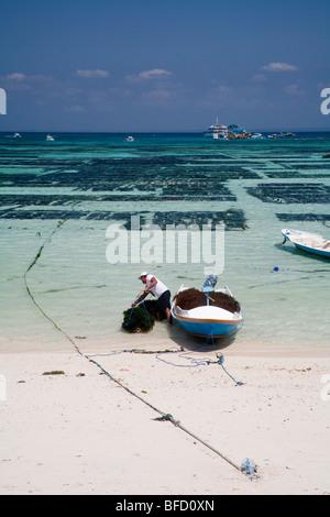Un agriculteur d'algues décharge sa récolte sur l'île de Nusa Lembongan beach, Bali, Indonésie. Les fermes peuvent Banque D'Images