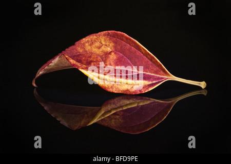 Feuille d'automne colorée sur surface réfléchissante