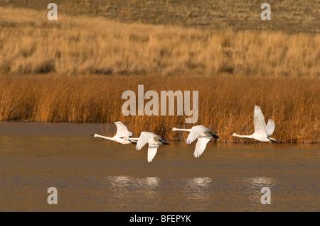Un groupe de Cygnes trompettes (Cygnus buccinator) prendre vol au sud pour échapper à l'hiver, près de Kamloops, Banque D'Images