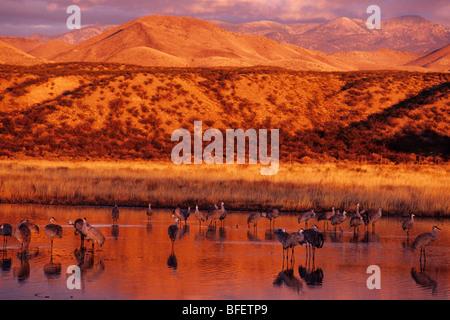 La grue du Canada (Grus canadensis) à l'aube, Bosque del Apache National Wildlife Refuge, New Mexico, USA Banque D'Images