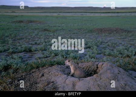 Chien de prairie (Cynomys ludovicianus) au terrier, le parc national des Prairies, en Saskatchewan, Canada Banque D'Images