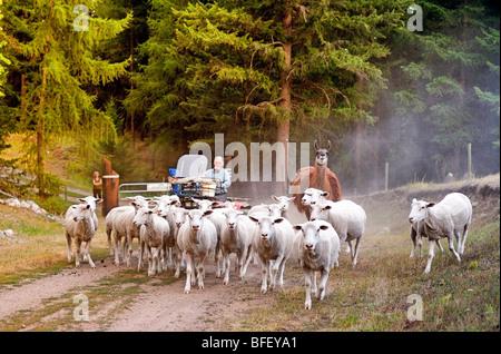 Troupeaux de moutons sur Sage ferme, Rock Creek, British Columbia, Canada, d'Agriculture, les gens, l'agriculture, Banque D'Images