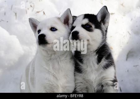 6 semaine les chiots de race Husky de Sibérie dans la neige à Bright Angel Park, Cowichan, C.-B.). Ambre Lassooij Banque D'Images