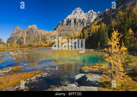 À l'automne, mélèzes Plateau Opabin, lac O'Hara, le parc national Yoho, Colombie-Britannique, Canada Banque D'Images