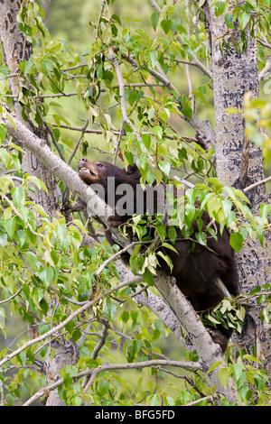 Ours noir (Ursus americanus) phase de chocolat dans le peuplier baumier (Populus balsamifera) Parc national Jasper Alberta Canada