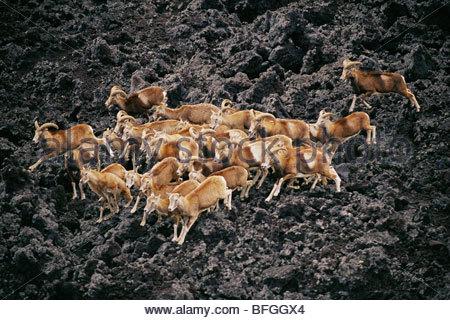 Mouflon moutons sur la coulée de lave (antenne), Ovis ammon musimon, Hawaii Volcanoes National Park, New York Banque D'Images