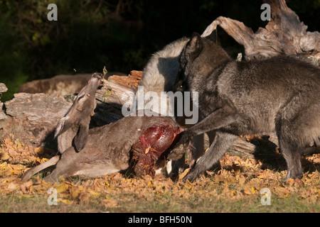 Pack de bois, ou des loups gris, avec un cerf mort. Banque D'Images