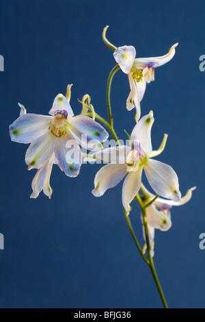 Série fleur delphinium blanc contre fond bleu en Août Banque D'Images