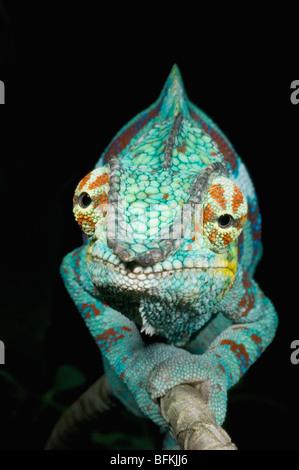 Caméléon panthère (Furcifer pardalis), mâle, OUEST DE MADAGASCAR Banque D'Images
