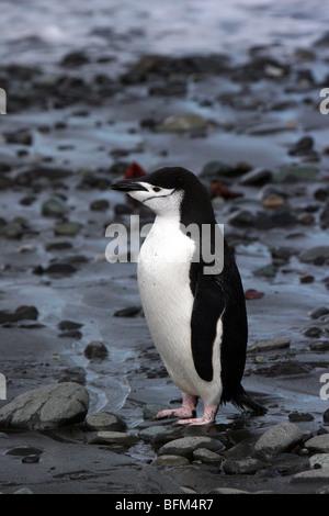 Jugulaire penguin près de la gare, l'Antarctique Arctowski Polish Banque D'Images