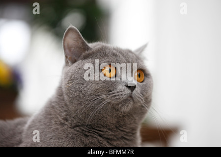 Chat domestique, chat de maison, Chartreux (Felis silvestris catus), f. d'un portrit 20 mois vieux bleu Chartreux, Banque D'Images