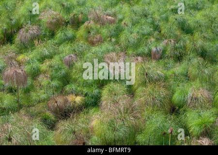 Au Kenya. De plus en plus de papyrus dans un marais d'eau douce alimenté par un printemps près du lac Bogoria. Banque D'Images