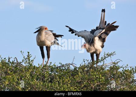 Au Kenya. Une paire d'oiseaux nicheurs en secrétaire Masai Mara National Reserve. Banque D'Images