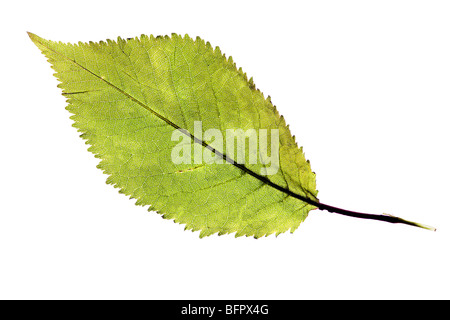 Green natural leaf isolated over a white background Banque D'Images