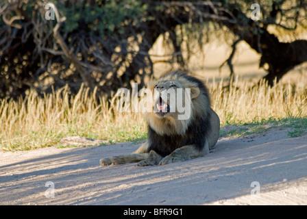 Lion à crinière noire roaring