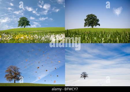 Oak tree on hill en quatre saisons Banque D'Images