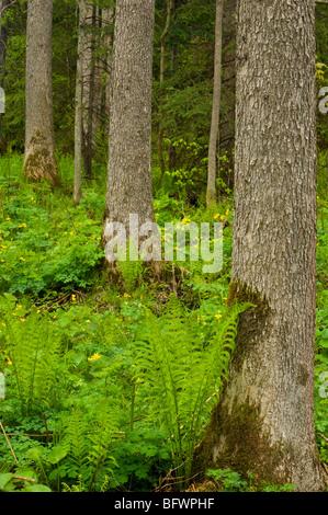 Forestiers humides avec œillets de marais et de fougères, Killarney, Ontario, Canada Banque D'Images