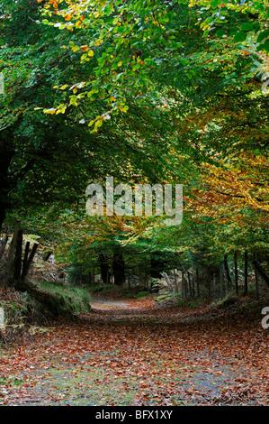 Une route de campagne bordée des deux côtés avec les hêtres en automne automne couleur dark moody paysages sauvages Banque D'Images
