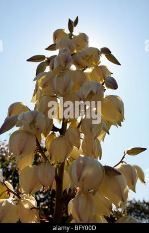 Yucca filamentosa, communément appelé Adam's needle en fleur dans les jardins botaniques de Melbourne Australie Banque D'Images