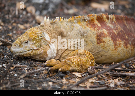 L'île Isabela, iguane terrestre des Galapagos, Equateur, Amérique du Sud,