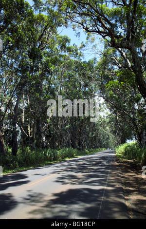 Tunnel d'arbres de swamp acajous Knudsen Gap Kauai HI Banque D'Images