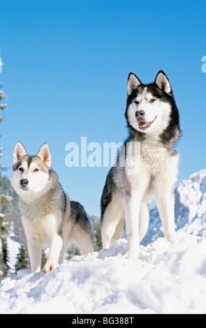 Deux chiens husky de Sibérie - debout dans la neige Banque D'Images