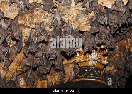 Colonie de Rousette de Geoffroy, ou des chauves-souris communes Rousette, Rousettus amplexicaudatus, le repos dans Banque D'Images
