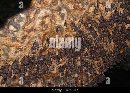 Rousette de Geoffroy, ou des chauves-souris communes Rousette, Rousettus amplexicaudatus, le repos dans la grotte Banque D'Images