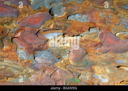 Le pin sylvestre (Pinus sylvestris) close up d'écorce Banque D'Images