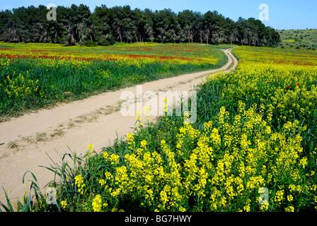 Israël, Néguev, un champ de fleurs sauvages au printemps Banque D'Images